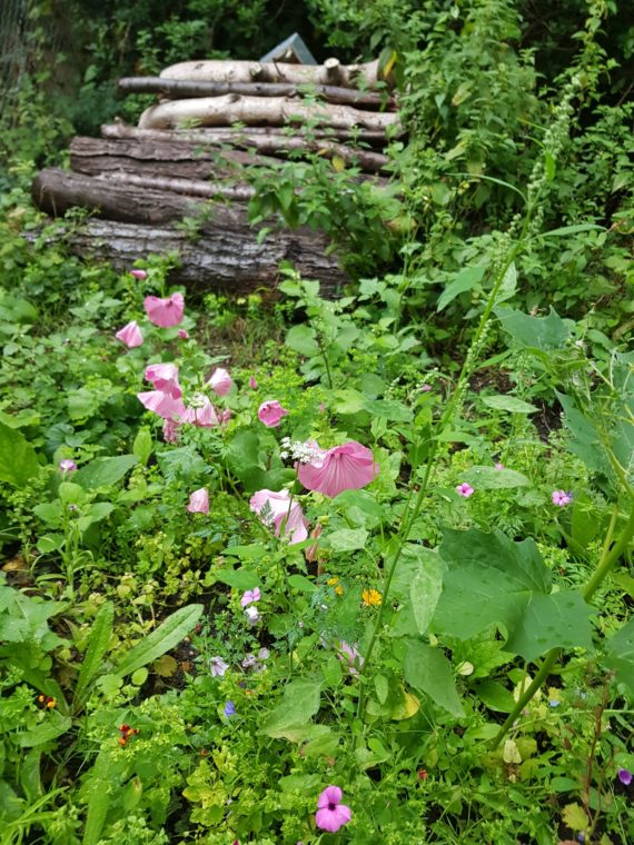 Hollyann's wildflower garden - pink flowers in a sea of green with a pile of wood in the background.